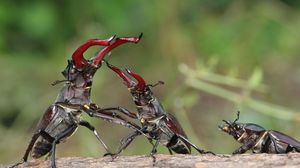 Preview wallpaper stag beetle, fight, male, female