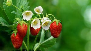 Preview wallpaper strawberries, berries, ripe, flowers, blur