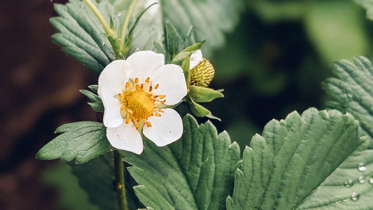 Wallpaperstrawberry,plant,flower,petals,macro高清壁纸免费下载