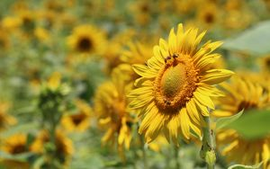Preview wallpaper sunflower, bees, pollination, yellow, blur