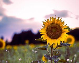 Preview wallpaper sunflower, bloom, field, grass