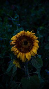 Preview wallpaper sunflower, blooms, field, yellow, dark