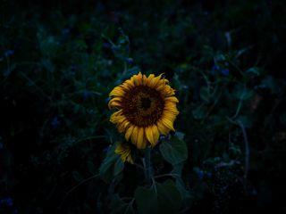 320x240 Wallpaper sunflower, blooms, field, yellow, dark