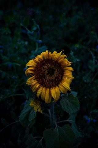 320x480 Wallpaper sunflower, blooms, field, yellow, dark