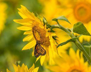 Preview wallpaper sunflower, butterfly, yellow, summer