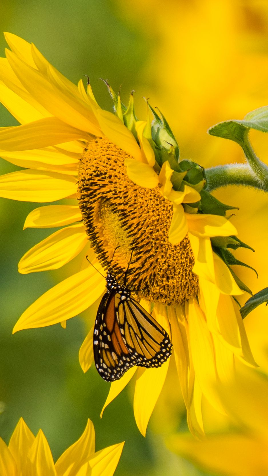 938x1668 Wallpaper sunflower, butterfly, yellow, summer