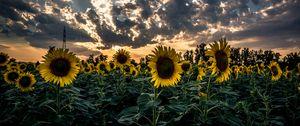Preview wallpaper sunflower, field, flower, sunset