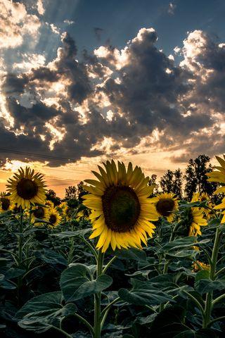 320x480 Wallpaper sunflower, field, flower, sunset