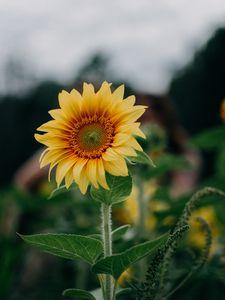 Preview wallpaper sunflower, flower, field, summer