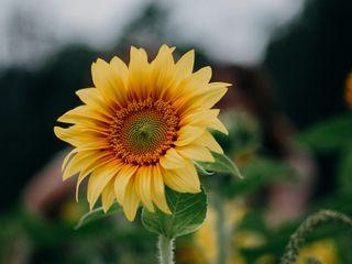 320x240 Wallpaper sunflower, flower, field, summer