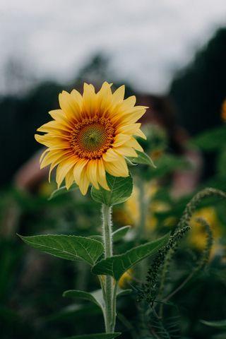 320x480 Wallpaper sunflower, flower, field, summer