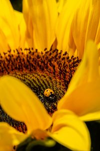 Preview wallpaper ladybug, sunflower, flower, insect, macro