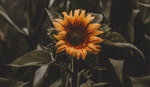 Preview wallpaper sunflower, flower, leaves