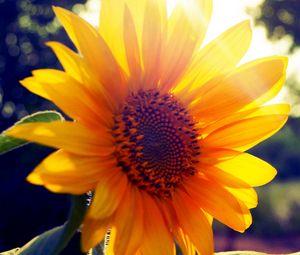 Preview wallpaper sunflower, flower, light