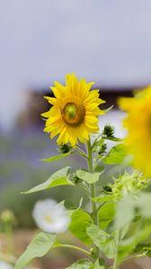Preview wallpaper sunflower, flower, petals, yellow, leaves