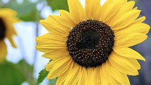 Preview wallpaper sunflower, flower, petals, yellow, macro