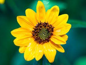 Preview wallpaper sunflower, flower, petals, yellow, wet, macro