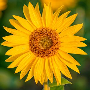 Preview wallpaper sunflower, flower, petals, wet, yellow