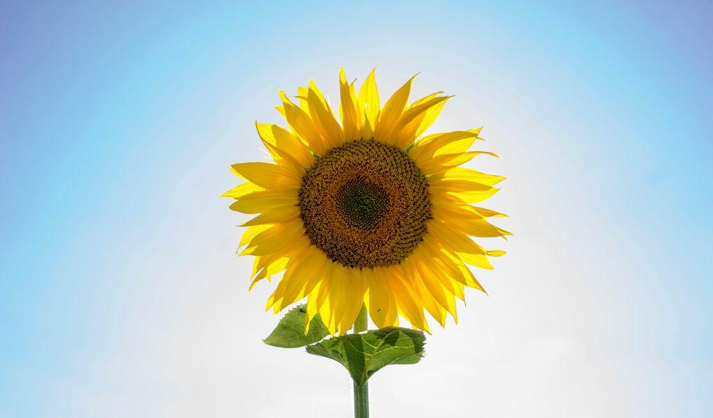1024x600 Wallpaper sunflower, flower, petals, seeds