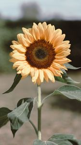 Preview wallpaper sunflower, flower, plant, bloom, yellow