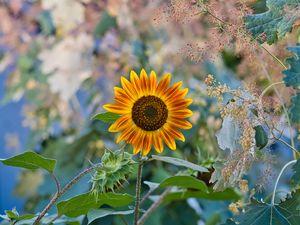 Preview wallpaper sunflower, flower, plant, macro