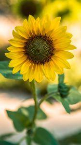 Preview wallpaper sunflower, flower, yellow, blur