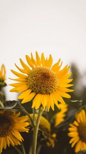 Preview wallpaper sunflower, flower, yellow, bloom, plant