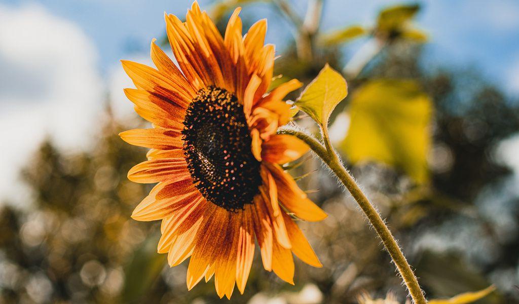 1024x600 Wallpaper sunflower, flower, yellow, bloom