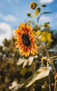 Preview wallpaper sunflower, flower, yellow, bloom