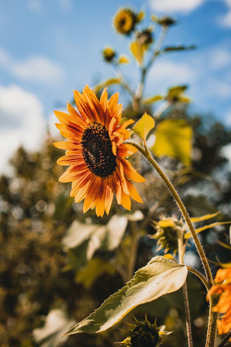 800x1200 Wallpaper sunflower, flower, yellow, bloom