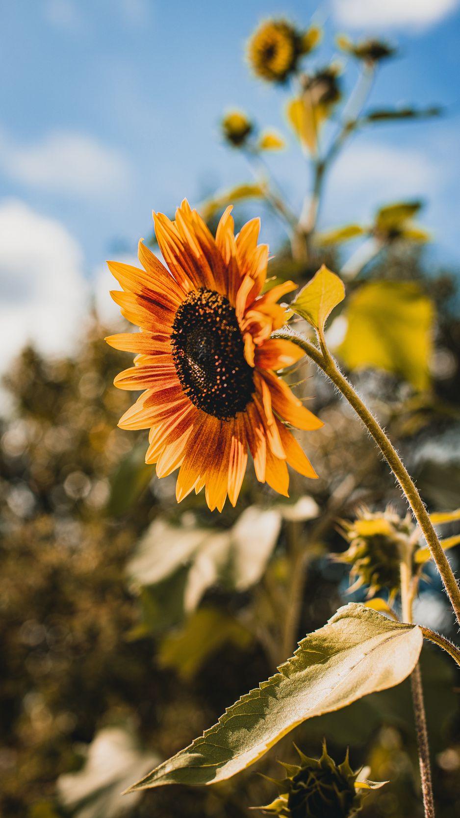 938x1668 Wallpaper sunflower, flower, yellow, bloom