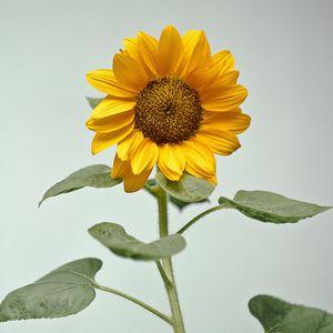 Preview wallpaper sunflower, flower, yellow, plant