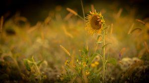 Preview wallpaper sunflower, flower, yellow, plant, field