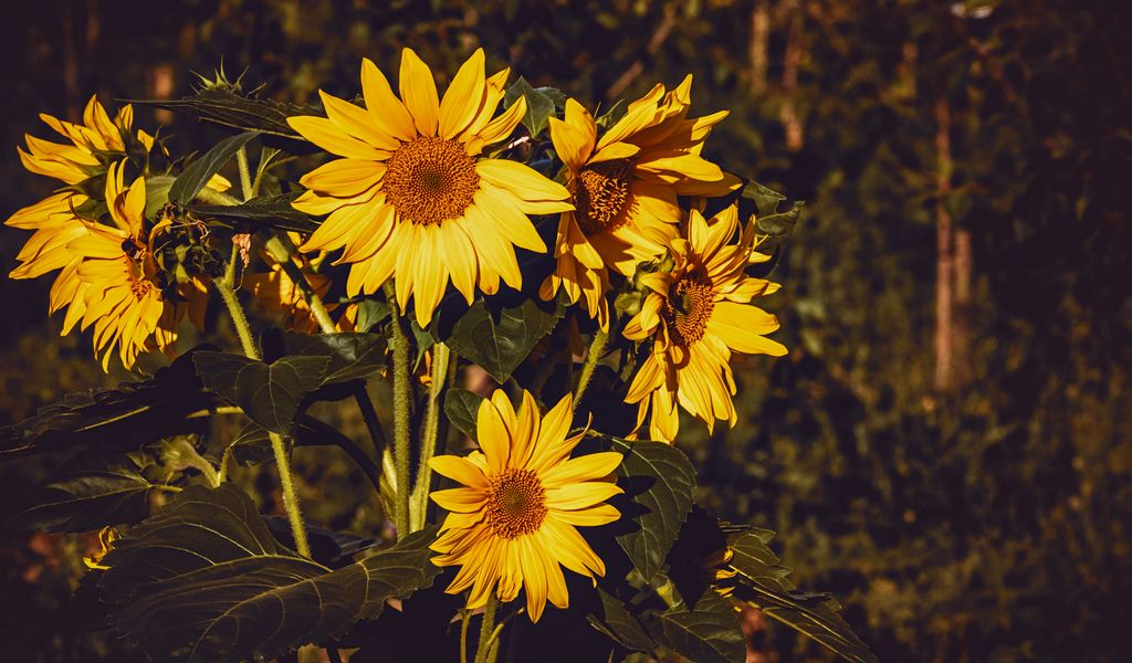 1024x600 Wallpaper sunflower, flowers, summer, yellow