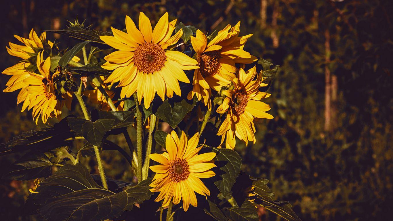 1366x768 Wallpaper sunflower, flowers, summer, yellow