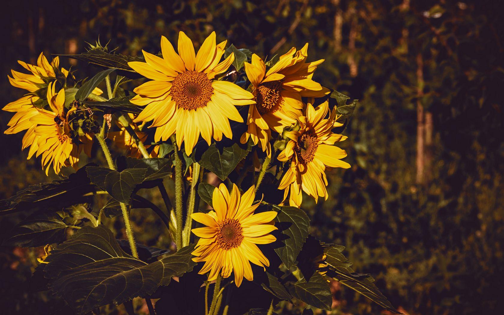1680x1050 Wallpaper sunflower, flowers, summer, yellow