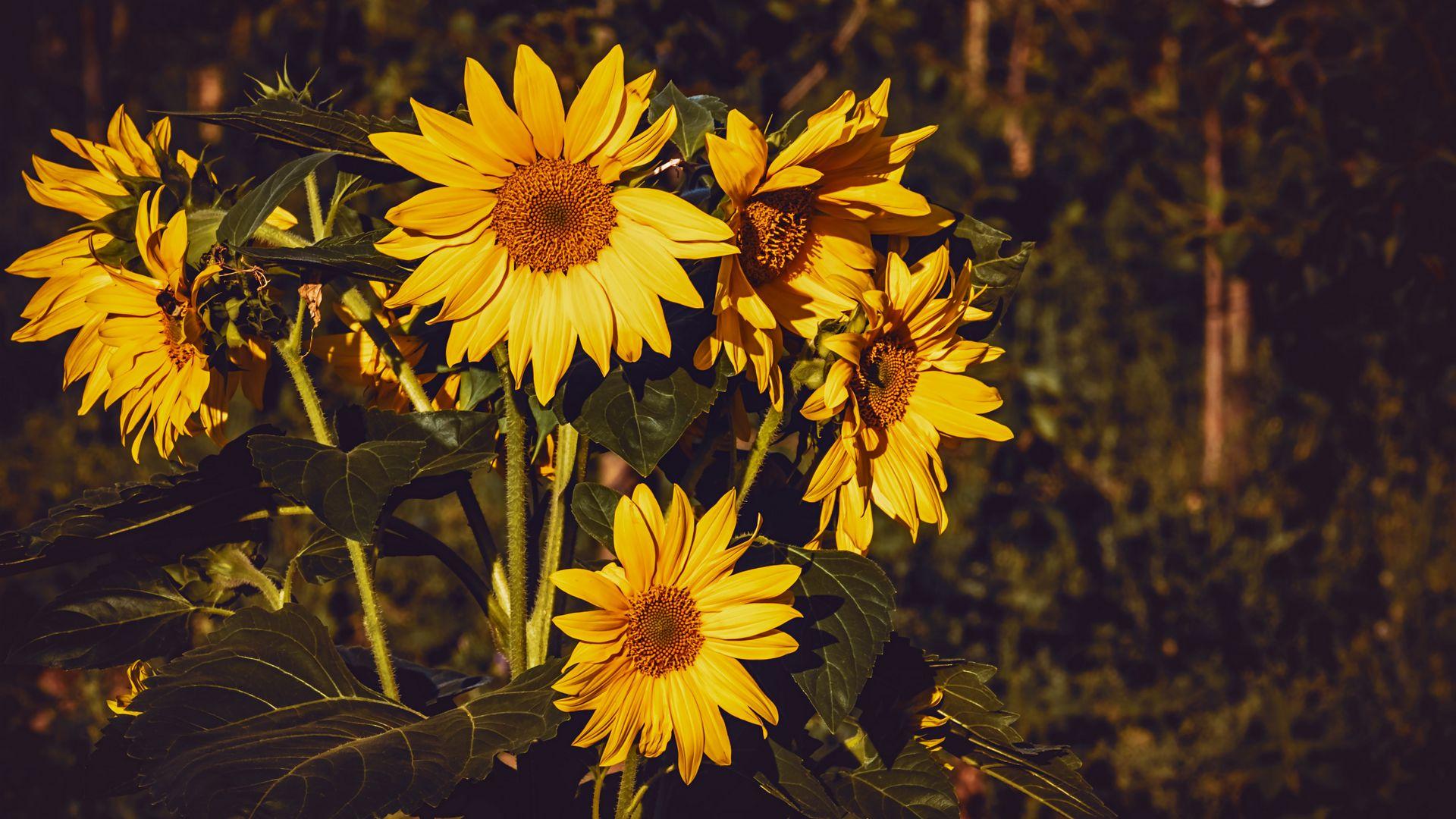 1920x1080 Wallpaper sunflower, flowers, summer, yellow
