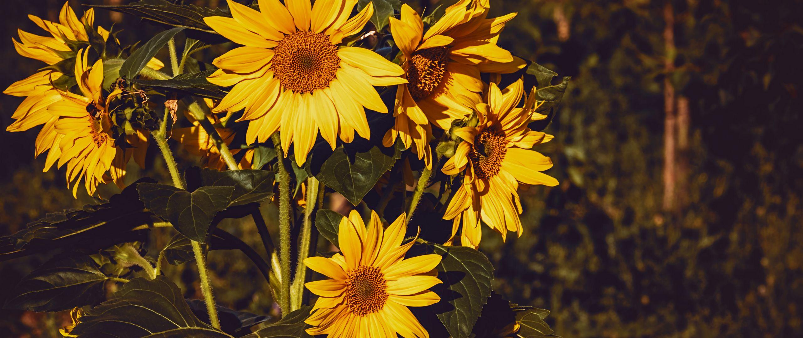 2560x1080 Wallpaper sunflower, flowers, summer, yellow