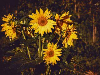 320x240 Wallpaper sunflower, flowers, summer, yellow