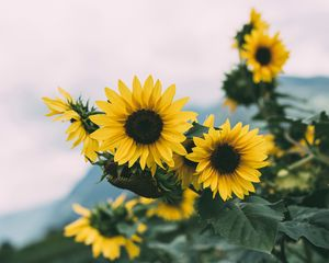Preview wallpaper sunflower, flowers, yellow, bloom, plant