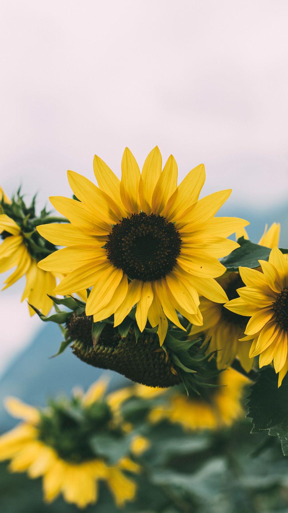 938x1668 Wallpaper sunflower, flowers, yellow, bloom, plant