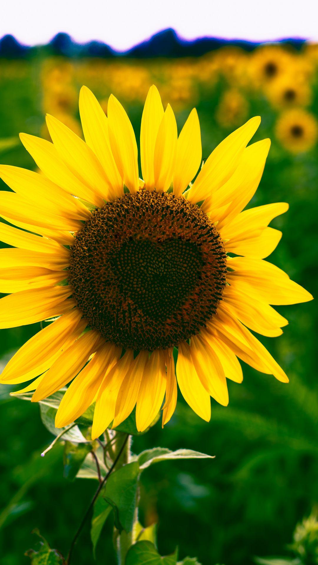 1080x1920 Wallpaper sunflower, heart, bloom, flower
