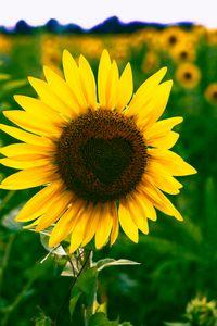 Preview wallpaper sunflower, heart, bloom, flower
