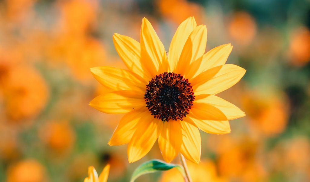1024x600 Wallpaper sunflower, petals, yellow