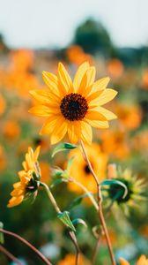Preview wallpaper sunflower, petals, yellow