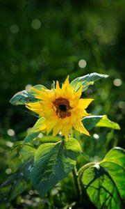 Preview wallpaper sunflower, petals, yellow, plant, macro