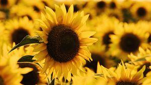Preview wallpaper sunflower, yellow flower, blossom, petals, macro