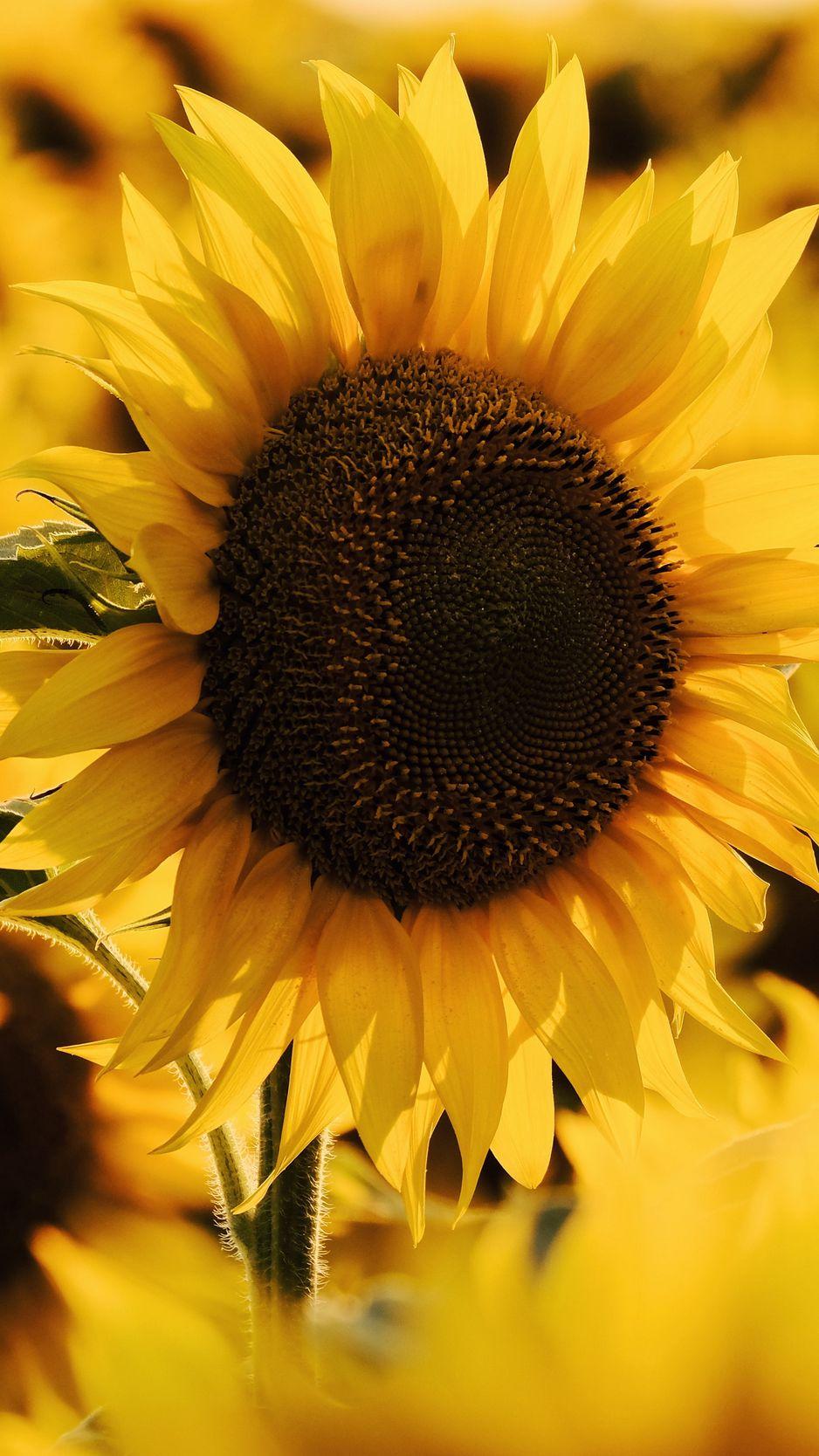938x1668 Wallpaper sunflower, yellow flower, blossom, petals, macro