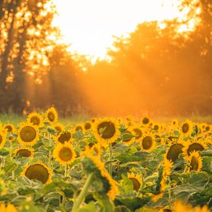 Preview wallpaper sunflowers, flowers, field, sun, rays, landscape