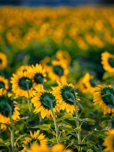 Preview wallpaper sunflowers, flowers, field, yellow, green